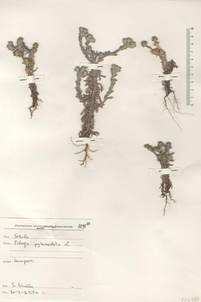 Filago pyramidata L.