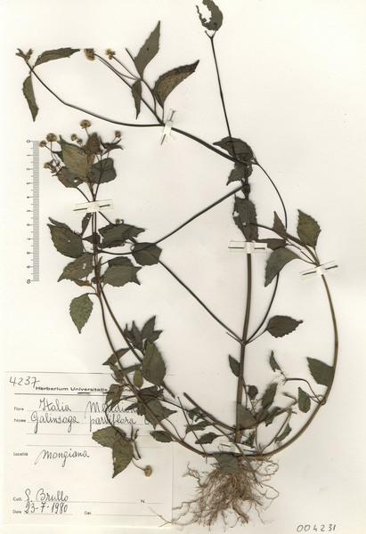 Galinsoga parviflora Cav.