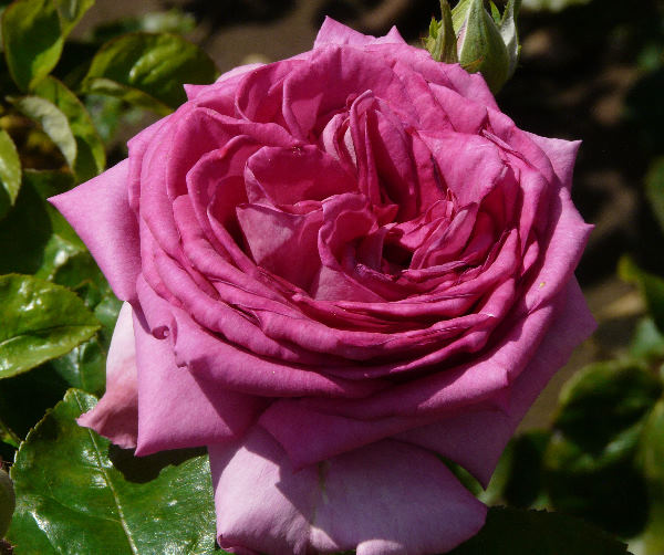 Rosa 'Purple Beauty'