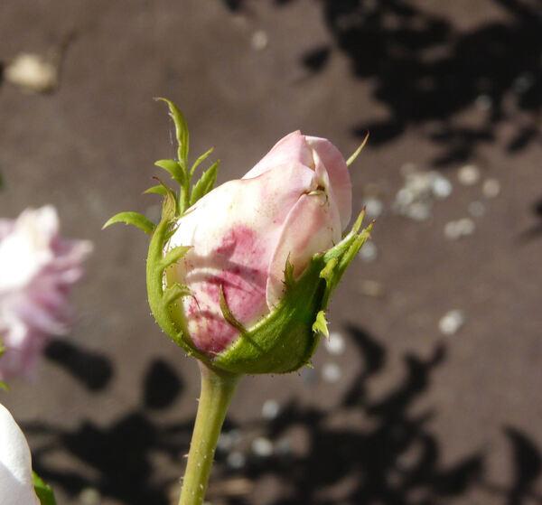 Rosa 'Isabelle Autissier ®'