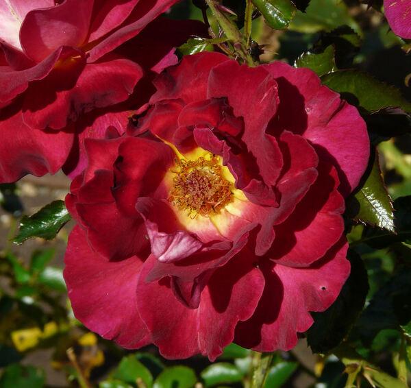Rosa 'Macha Méril ®'