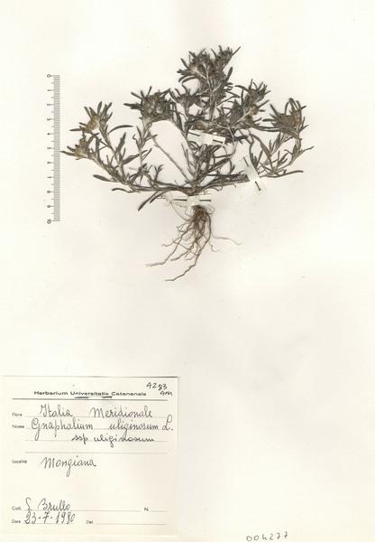 Gnaphalium uliginosum L.
