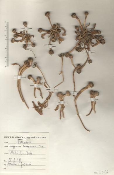 Hedypnois rhagadioloides (L.) F.W. Schmidt subsp. tubaeformis (Ten.) Hayek