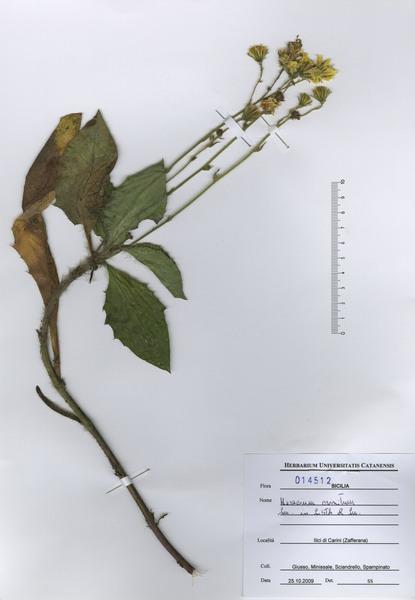 Hieracium racemosum Waldst. & Kit. ex Willd. subsp. crinitum (Sm.) Rouy