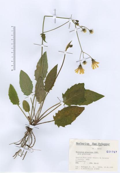 Hieracium glaucinum Jord.