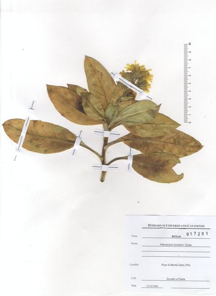 Hieracium lucidum Guss.