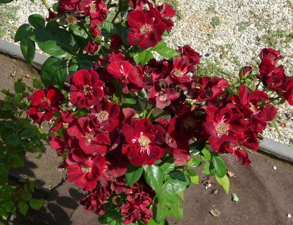 Rosa 'Noir Désir ®'