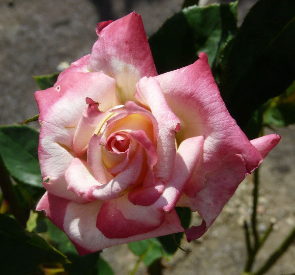 Rosa 'Akebono'