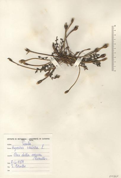 Hyoseris scabra L.