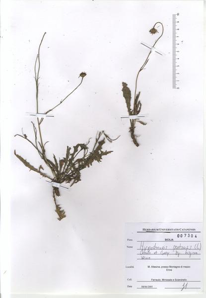 Hypochaeris cretensis (L.) Bory & Chaub.