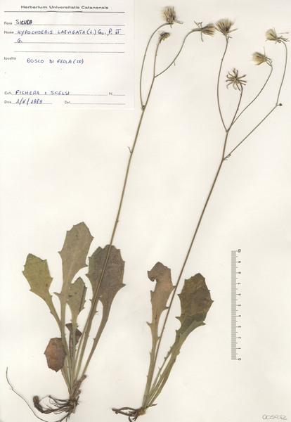 Hypochaeris laevigata (L.) Ces., Pass. & Gibelli