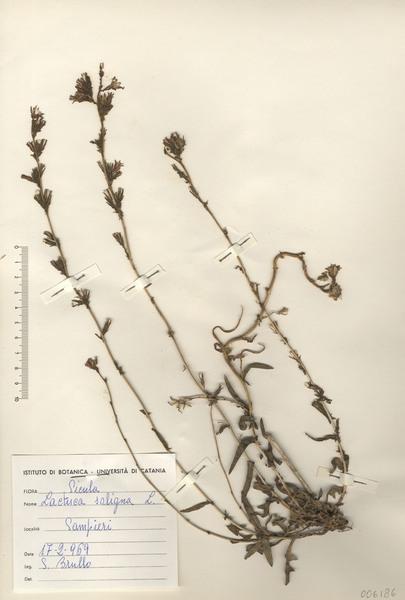 Lactuca saligna L.