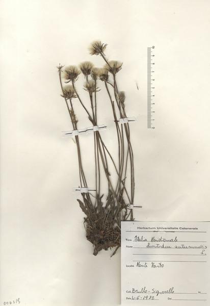 Scorzoneroides autumnalis (L.) Moench