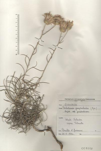 Ptilostemon gnaphaloides (Cirillo) Soják subsp. gnaphaloides