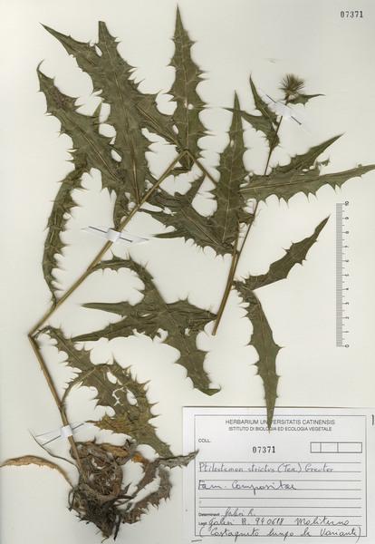 Ptilostemon strictus (Ten.) Greuter