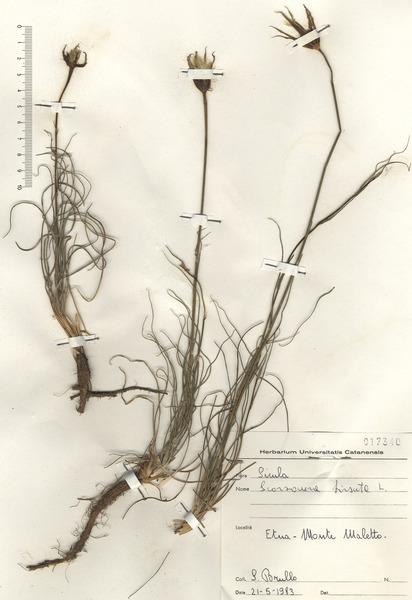 Scorzonera hirsuta (Gouan) L.