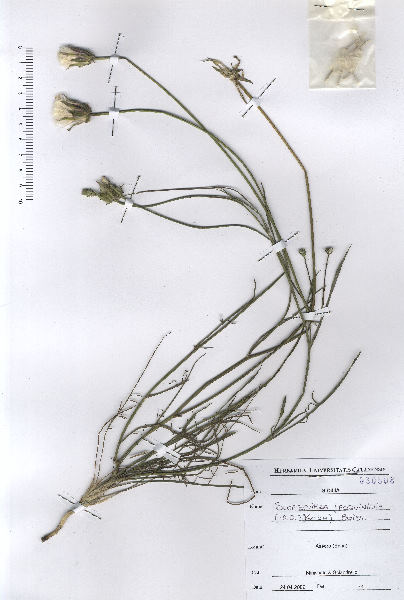Podospermum canum C.A.Mey.