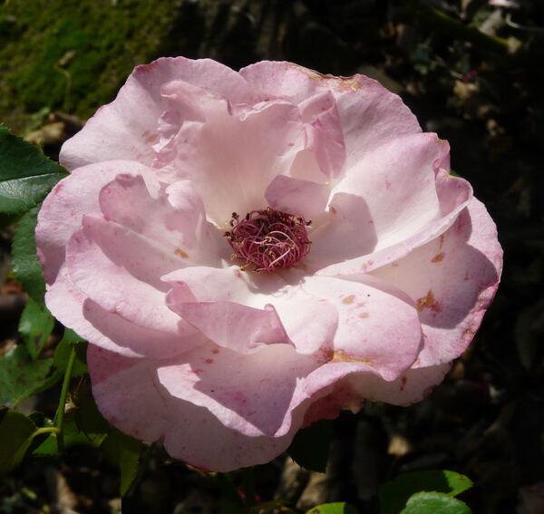 Rosa 'Luarca'