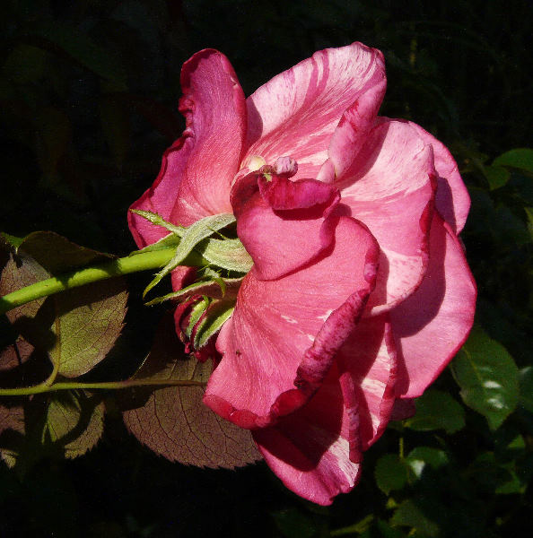 Rosa 'Brocéliande ®'
