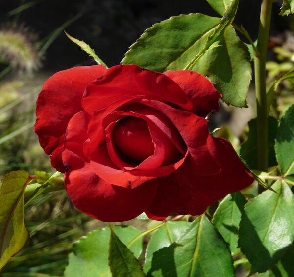 Rosa 'Amalia ™'