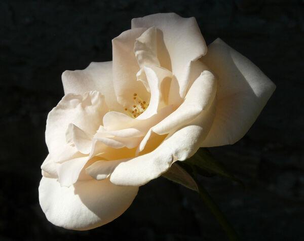 Rosa 'Osiana ™'