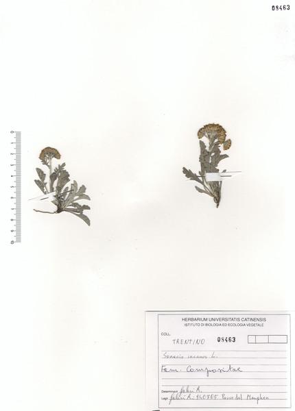 Jacobaea incana (L.) Veldkamp