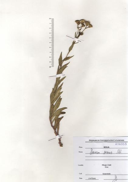 Senecio squalidus L. subsp. microglossus (Guss.) Arcang.
