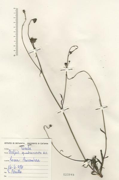 Tolpis virgata (Desf.) Bertol. subsp. virgata
