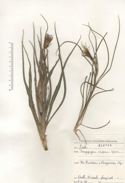 Tragopogon cupanii Guss. ex DC.