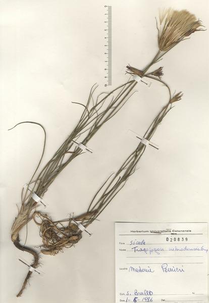 Tragopogon crocifolius L. subsp. nebrodensis (Guss.) Raimondo