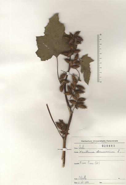 Xanthium strumarium L. subsp. strumarium