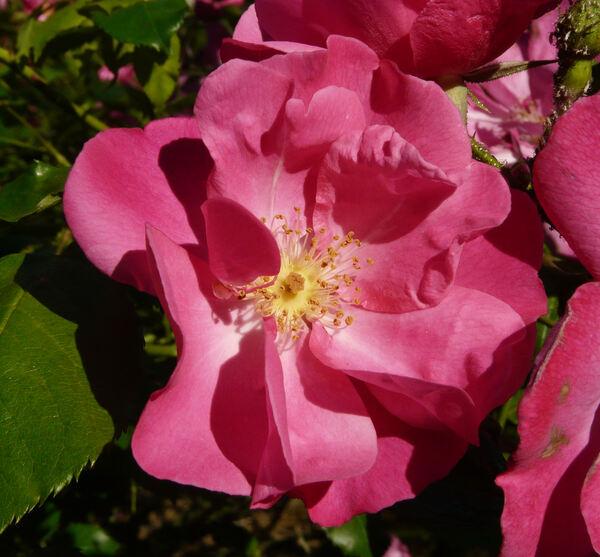 Rosa 'Vanity'