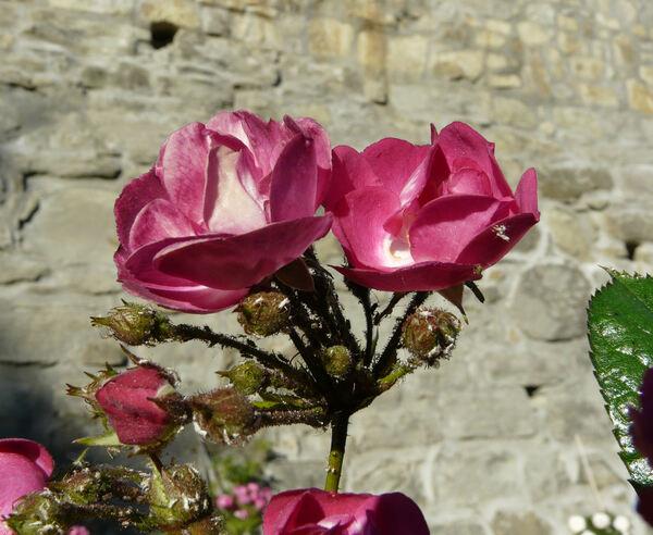 Rosa 'Verdi'