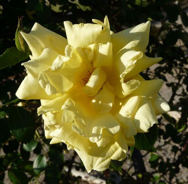 Rosa 'Mrs. Arthur Curtiss James'