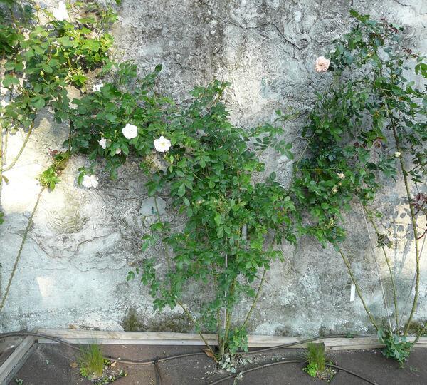 Rosa 'Sourire d'Orchidée'