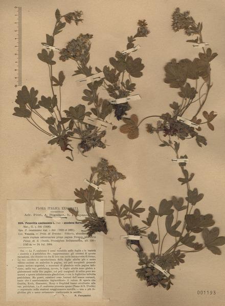 Potentilla caulescens L. subsp. caulescens