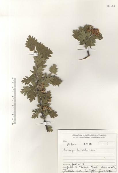 Crataegus rhipidophylla Gand.