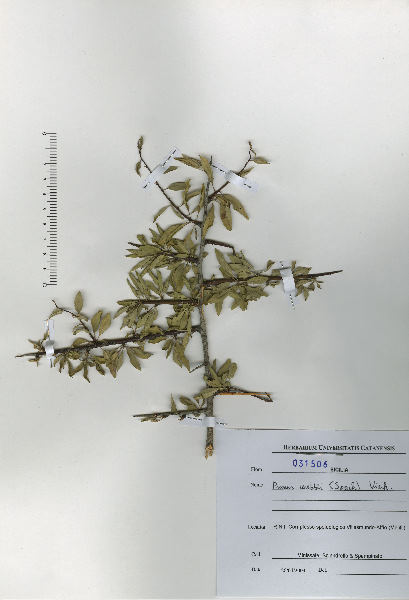 Prunus webbii (Spach) Vierh.