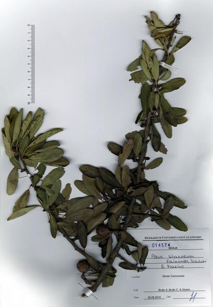 Pyrus sicanorum Raimondo, Schicchi & P.Marino