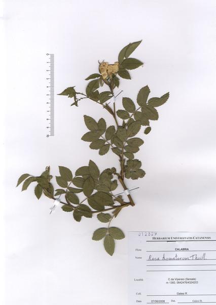 Rosa corymbifera Borkh.