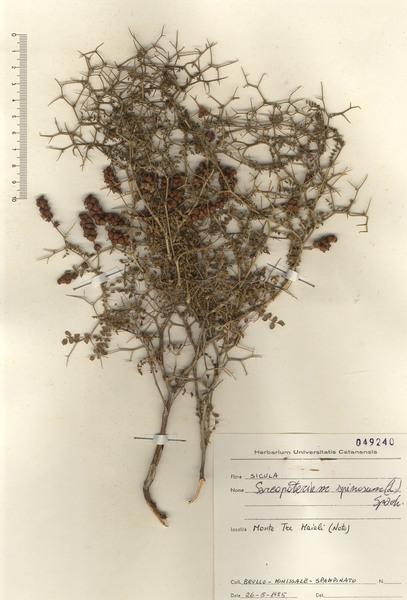 Poterium spinosum L.