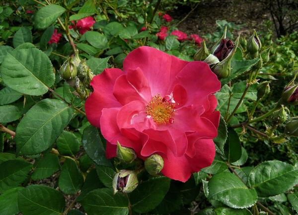 Rosa 'Burghausen ®'