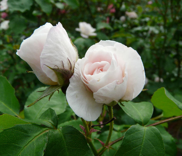 Rosa 'Easy to Cut'