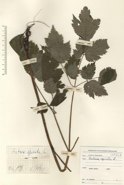 Actaea spicata L.