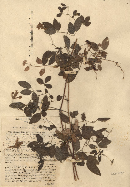 Clematis viticella L.