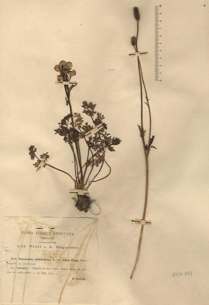 Ranunculus millefoliatus Vahl