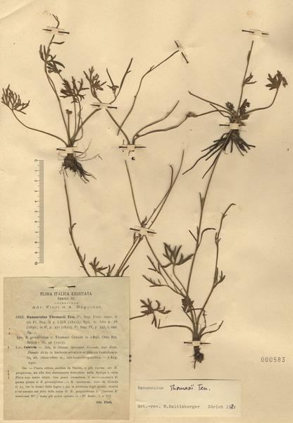 Ranunculus thomasii Ten.