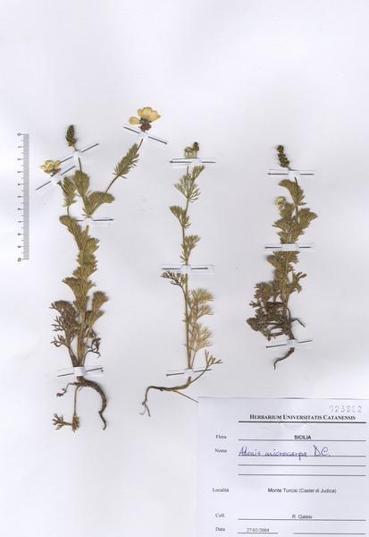 Adonis microcarpa DC. subsp. microcarpa