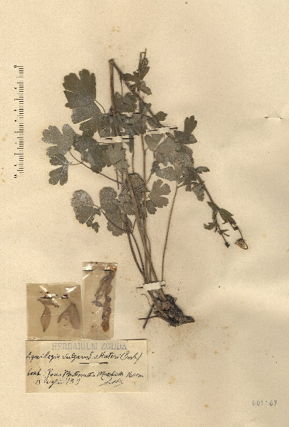 Aquilegia bertolonii Schott