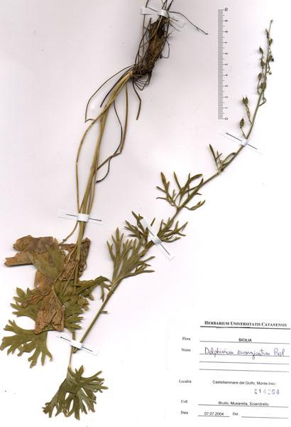 Delphinium emarginatum C.Presl subsp. emarginatum